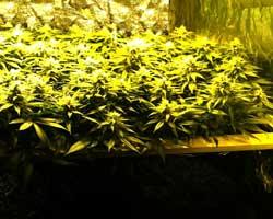 ScrOG (Screen of Green) in Flowering Stage