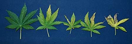 Examples of various stages of a cannabis phosphorus deficiency, caused by the pH being too high at the roots. These spots are signs of a problem!