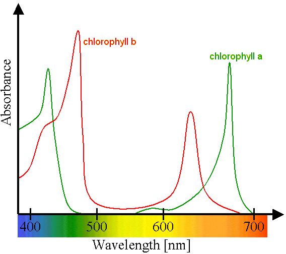 Optimal light absorption by chlorophyll a and b displayed on a graph showing the optimal light spectrum
