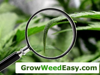 Nitrogen toxicity - marijuana plant