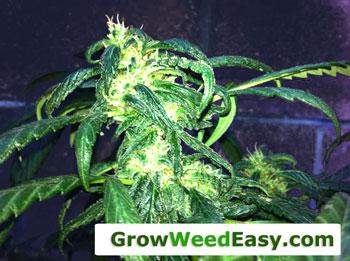 Nitrogen toxic marijuana plant - NOT overwatered