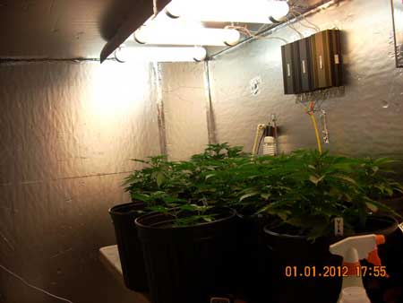 Young vegetative cannabis plants under magnetic induction grow lights