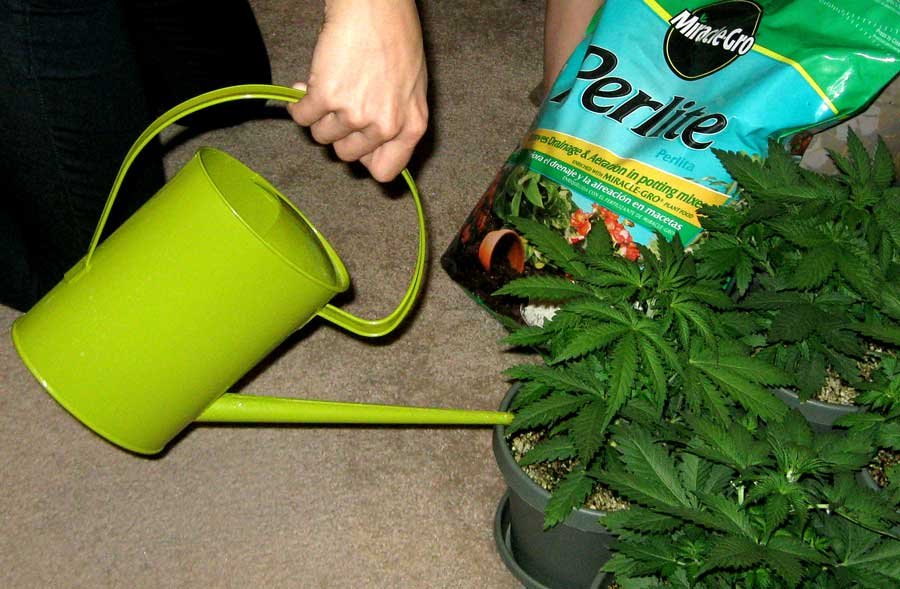 Watering Is An Important Part Of Growing Cans Indoors And Knowing How To Water Your Plants Will Save You A Lot Frustration