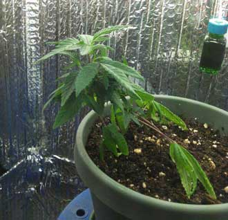 Marijuana microgrow - Week 1 - started LST - Vegetative Stage