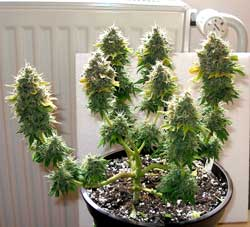 "Grow a ""bonsai"" marijuana plant like this one with LST shaping (low stress training)"