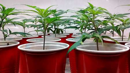 These healthy cannabis clones will be trained to grow short and flat so they take get the biggest yields from CFL grow lights!
