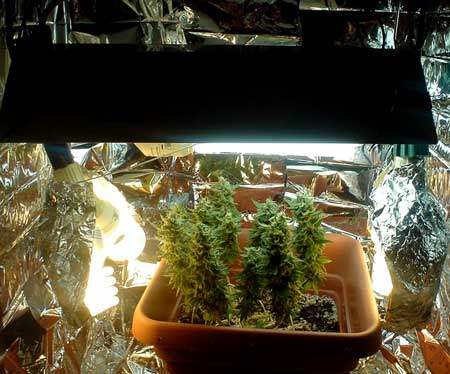 View marijuana plant in the full setup