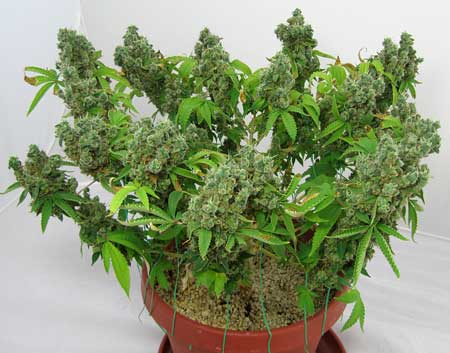 Cannabis plant grown with CFLs
