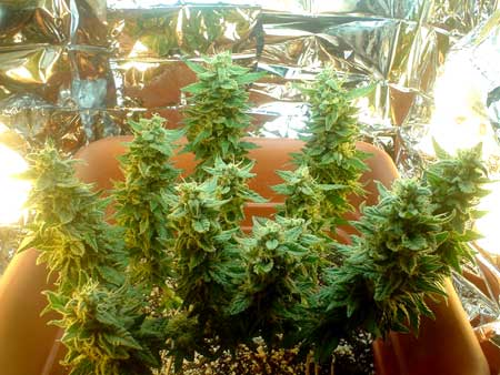 Closeup of the marijuana microgrow plant