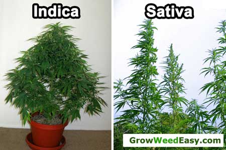 Indica vs Sativa - Natural growth patterns without using LST or other growth control / training methods