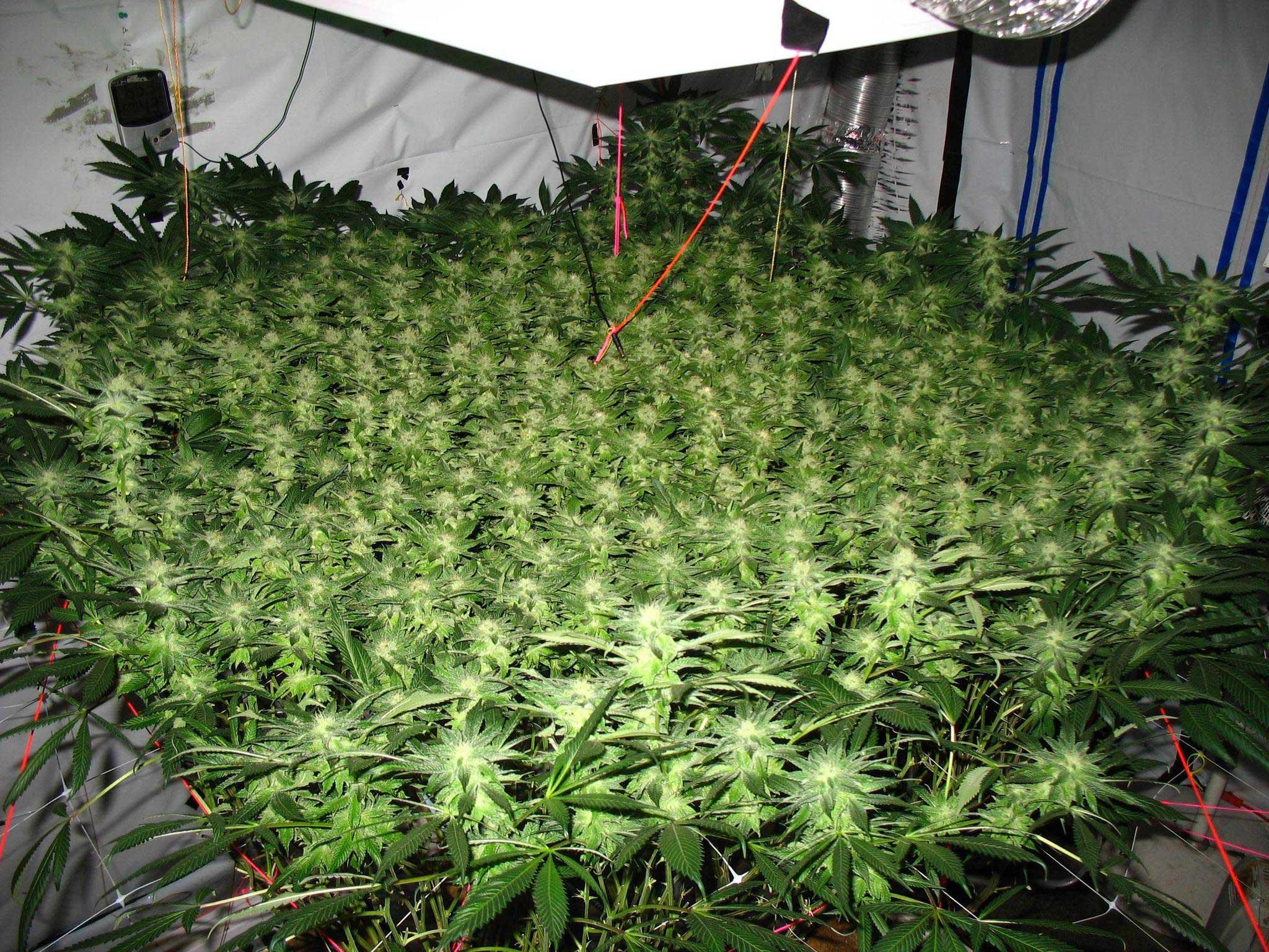 Метод выращивания марихуаны по семя конопляное корм для попугаев