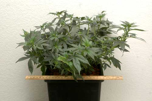 Jack Herer plant - LST was used to keep her very short