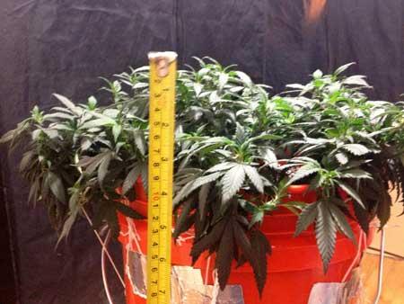 LST (low stress training) marijuana example