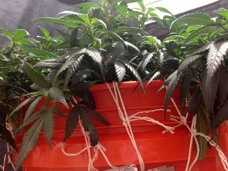 LST (low stress training) using string