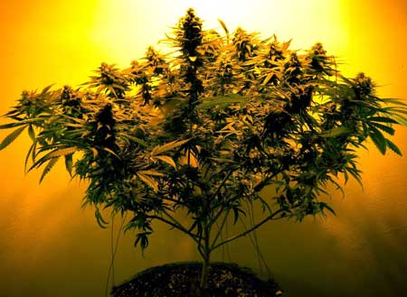 LST was used on this marijuana plant to encourage her to grow wider and bushier