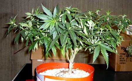 Train cannabis plants to grow short and flat in order to get big yields with CFL grow lights