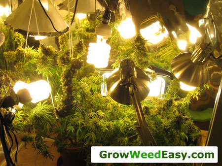 Growing marijuana with CFLs example pic