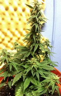 Auto original Short Rider cannabis plant - this auto-flowering strain stayed very short with one thick main cola!