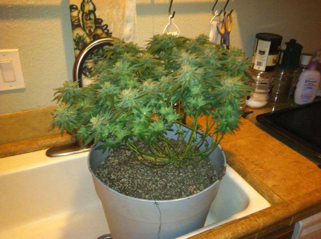 Cfl Dresser Microgrow In Pictures Clone To Harvest 2