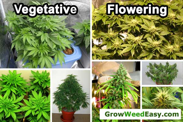 Vegetative vs Flowering Marijuana plant diagram