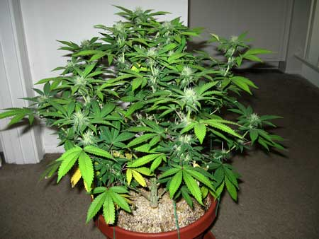 A young female cannabis plant - hanging out in a hallway :)