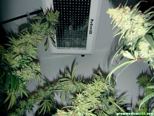 Afghan (L), Critical Sensi (R), Pro-Grow 550 LED grow light (center)