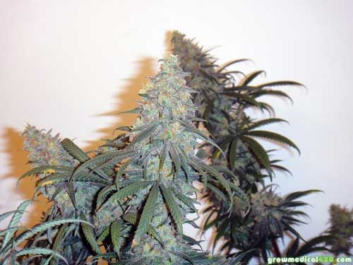 Critical Sensi Star tops, grown under the Pro-Grow 550 LED grow light