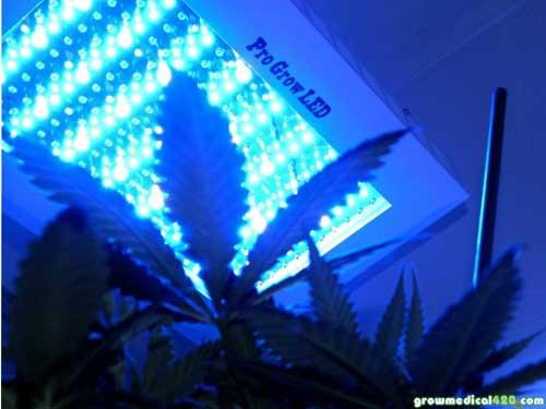 Critical x Sensi Star seedling beneath the Pro-Grow 550 LED (in Veg mode).