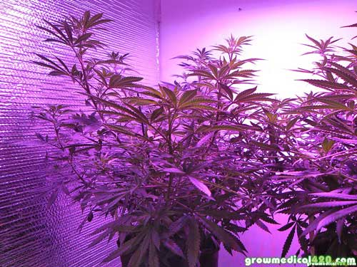 Critical + Sensi Star under the Pro Grow 550 LED light