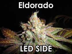 Eldorado - bud from the LED side