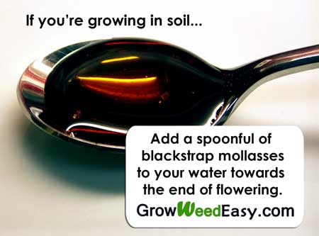 If you're growing in soil, you can improve yields and bud flavor by adding a spoonful of blackstrap molasses to your water every time you water your plants (during the second half of the flowering stage).