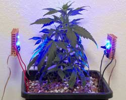 Blue side lighting won't work by itself for marijuana selective light training
