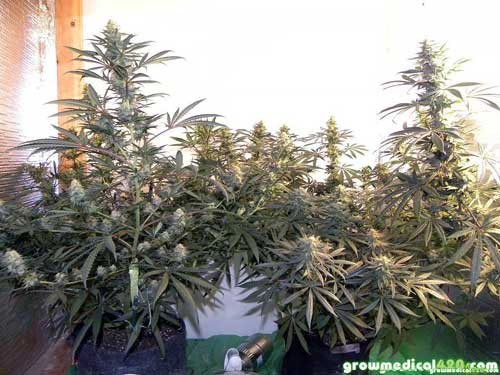 Branches begin to spread as buds thicken & colas grow heavier