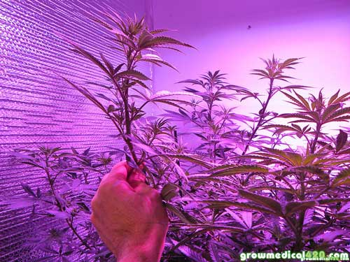 Profuse branching & ideal node spacing allows for thick budding colas