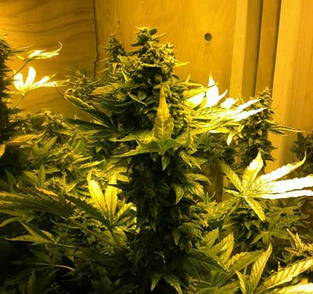 Day 79 from seed - Northern Lights autoflowering in garage grow box