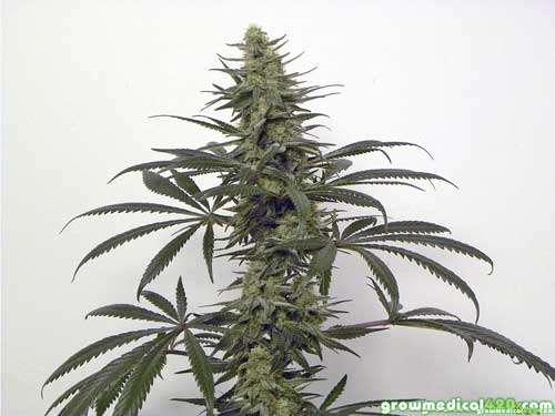 A beautiful specimen, our landrace Afghan Kush adjusts to indoor life.