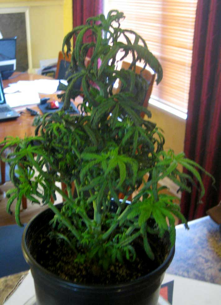 Why is my whole plant wilting, curling, with tips turning ...