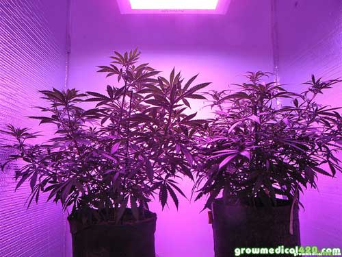 Both plants have taken well to the Pro-Grow 550