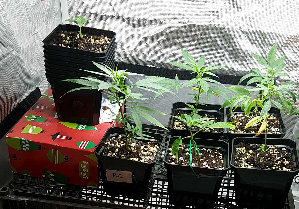 Picture Guide to Cloning Marijuana | Grow Weed Easy