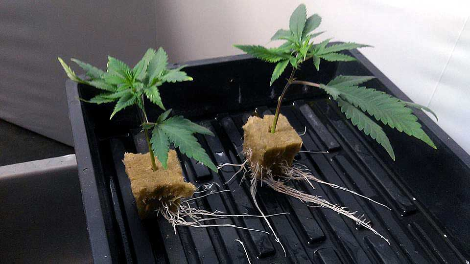 Image result for cloning marijuana