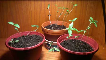 Too-tall seedlings need more light!
