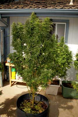 1 Pound outdoor marijuana plant is just about ready for harvest