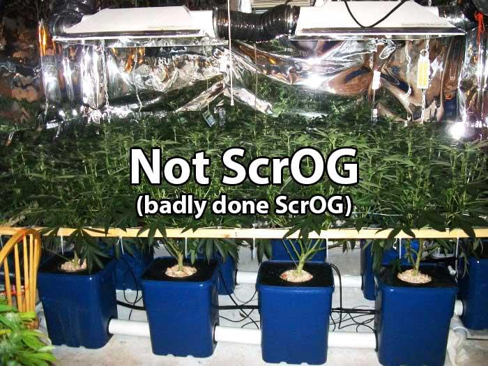 Lbh S Famous Scrog Tutorial Grow Weed Easy