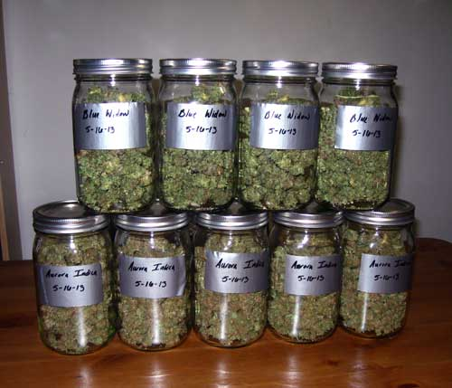 Marijuana buds curing in mason jars - a happy harvest