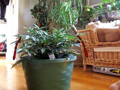Continue pullind down branches to keep plant short