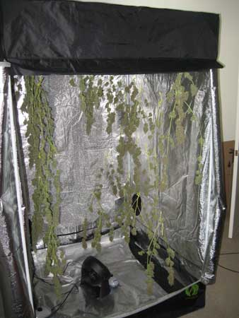 Drying marijuana buds in a cannabis grow tent can be convenient