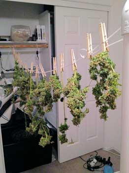 Cannabis buds hanging to dry after harvest - a beautiful marijuana yield with fat buds!