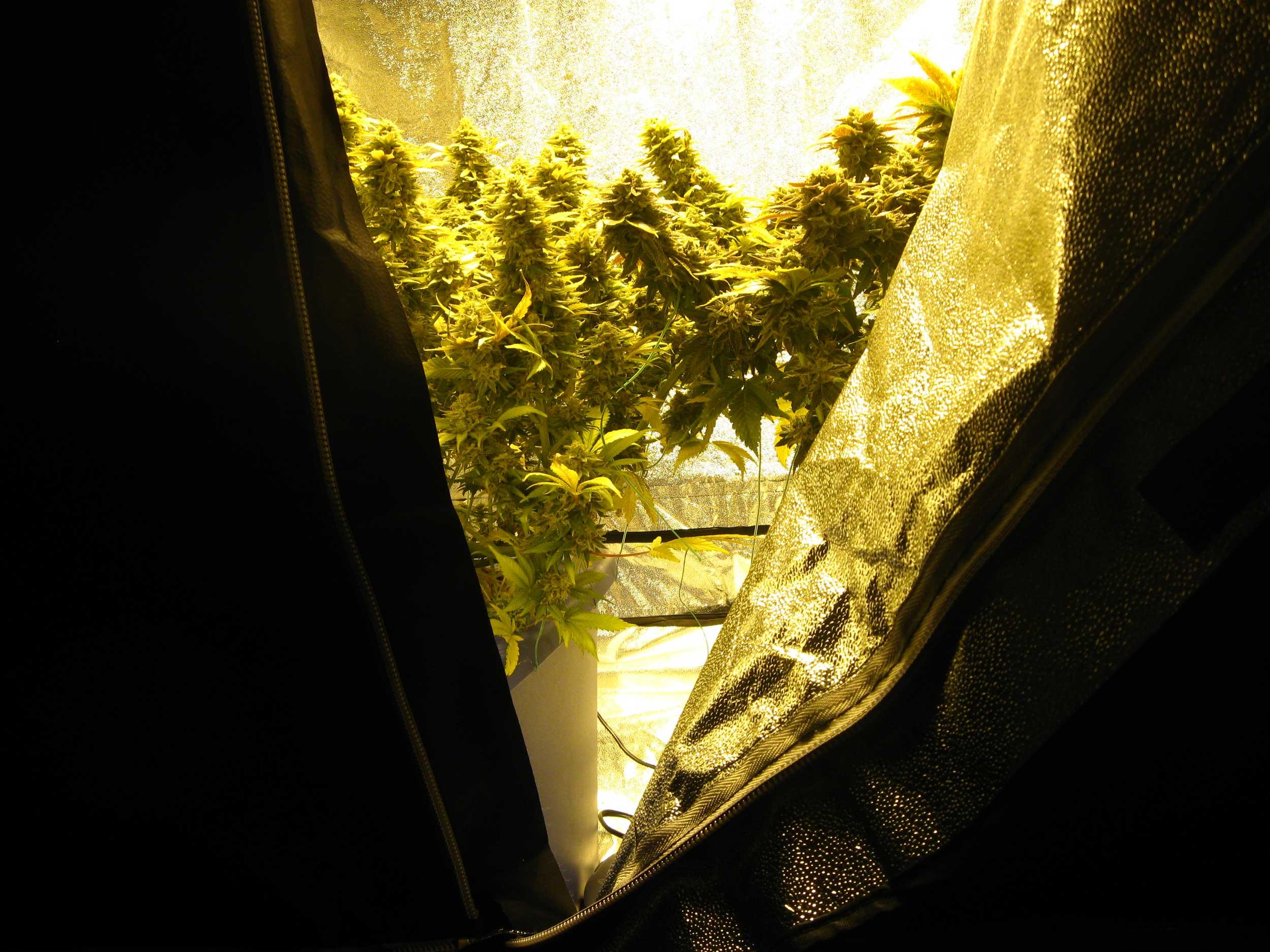 weed lights grow lighting magnetic hps induction easy buds marijuana plasma light do they work