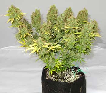 Green side of this Blue Mazar cannabis plant