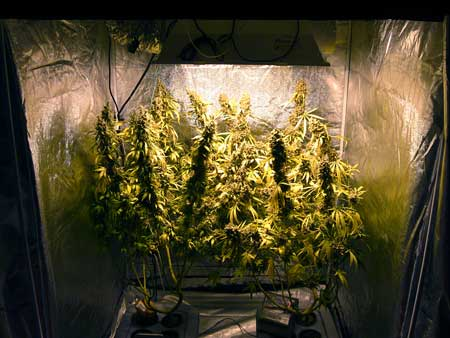 Cannabis plants just before harvest - they were trained to make the most use of their space